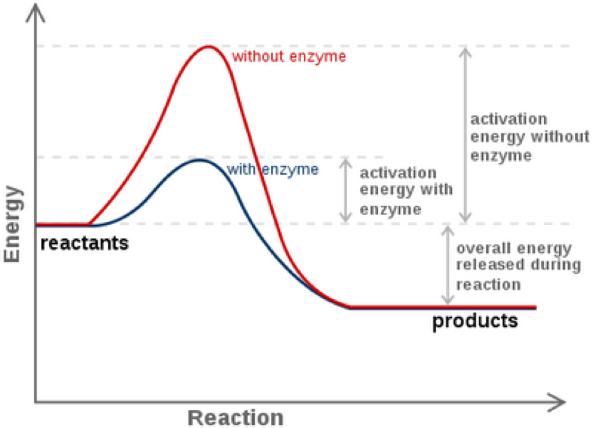 enzymes and reaction rates rh www2 nau edu