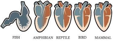 Heart single chamber Implantable cardioverter