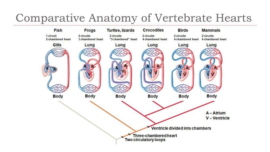 Comparative Anatomy of Vertebrate Hearts