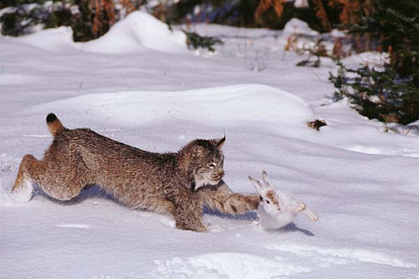 snowshoe hare and lynx predator prey relationship lessons