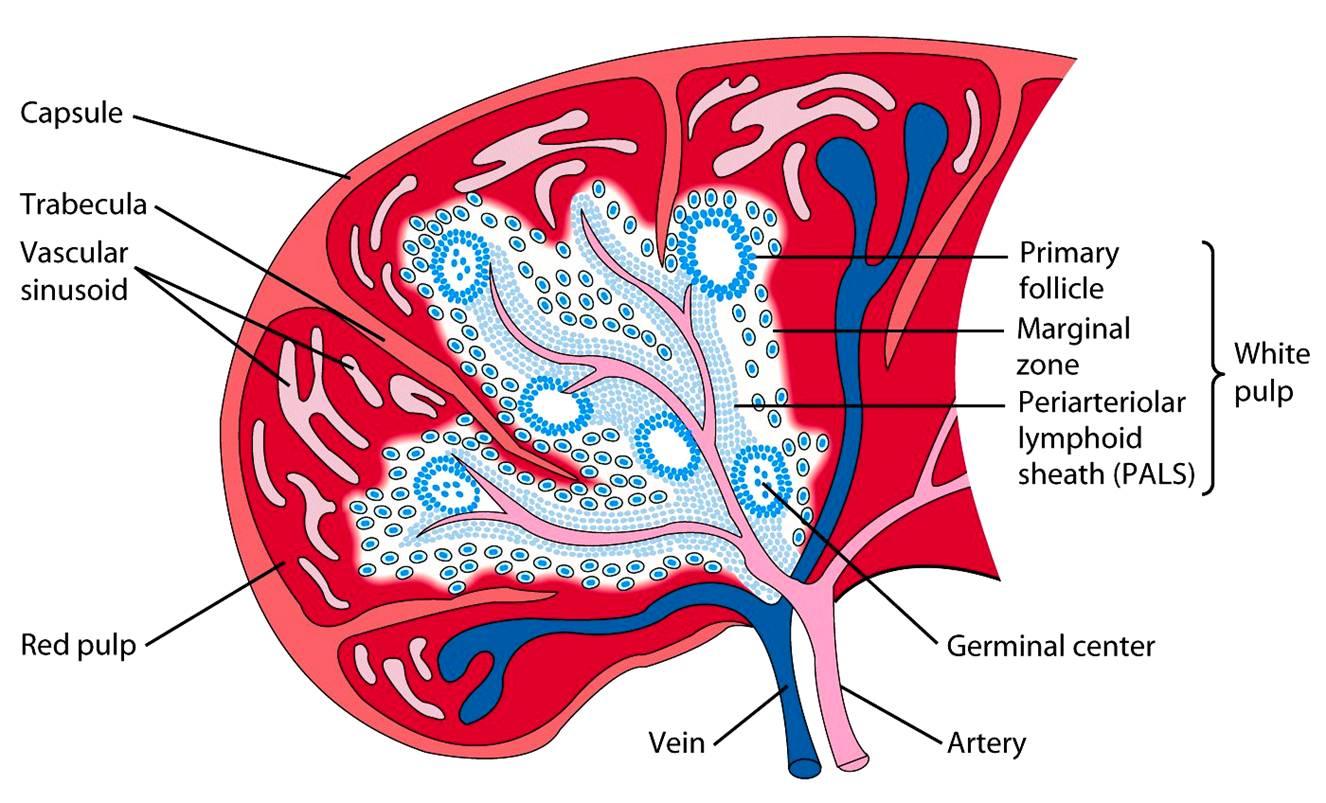 spleen1 jpg : spleen diagram - findchart.co