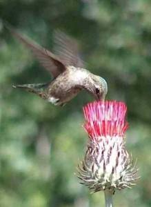 Anna's hummingbird, Calypte anna:http://www.laspilitas.com/California_birds/Hummingbirds/Anna's_Hummingbird/Anna's_Hummingbird.htm