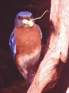Bluebird with insect:http://www.birdguardian.com/graphics/bluebird-grasshopper300.jpg
