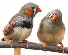 Zebra finches:http://www.zebrafinch-society.org/photos.htm