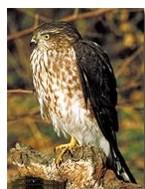 Sharp-shinned hawk:http://www.peregrinefund.org/Explore_Raptors/hawks/sshnhawk.html
