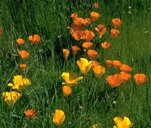 California poppy:© Br. Alfred Brousseau, Saint Mary's College:http://elib.cs.berkeley.edu/cgi/img_query?text_only=0&display1=image+ID+num&where-calrecnum=3512
