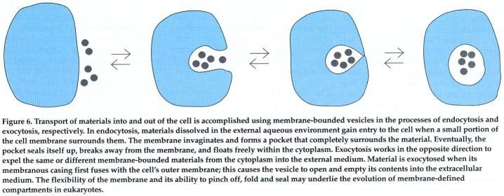 Giardia   A Missing Link between Prokaryotes and EukaryotesEndocytosis Example